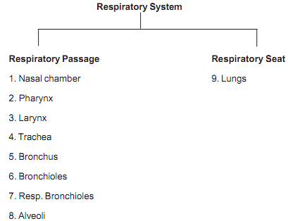 1024_parts of human respiratory system.png
