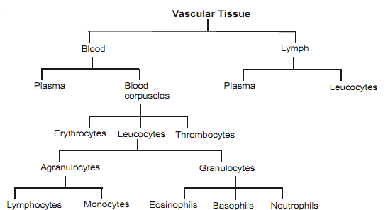 1041_classification vascular tissue.png