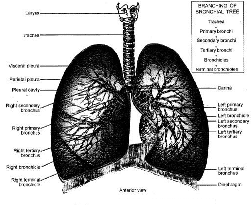 1053_Lower Respiratory Tract.png