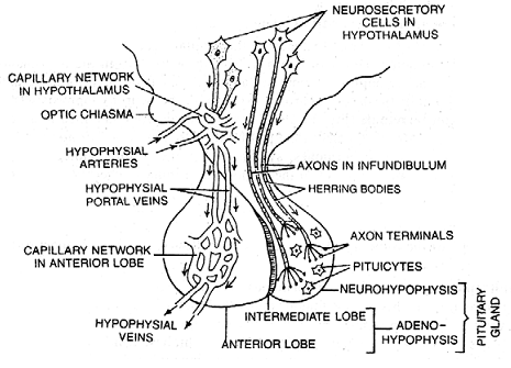 1108_pituitary gland.png