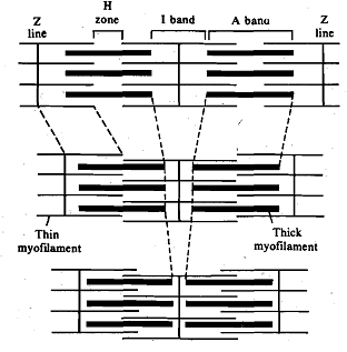 1139_Mechanism of Muscle Contraction.png