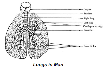 1189_Human lungs.png
