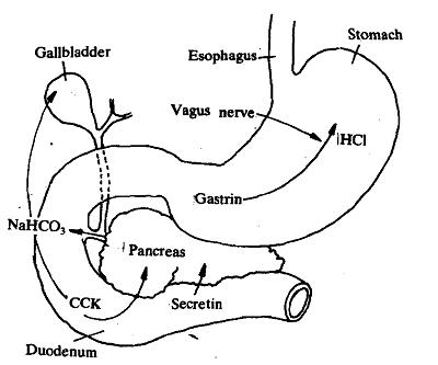 1197_Actions of Gastrointestinal hormones.png