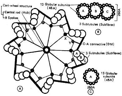 1208_centrioles.png