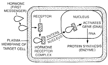 1325_hormonal action by intracellular receptor.png