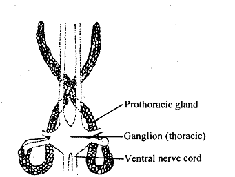 1336_Corpus Allatum and Prothoracic Gland.png