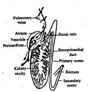 1355_Molluscan Kidney.png