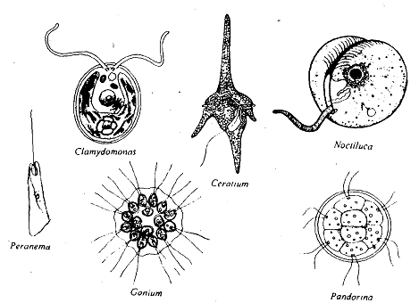 1407_Phyto flagellates.png