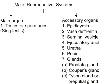 1412_male reproductive system.png