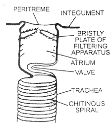 1434_respiration system of cockroach.png