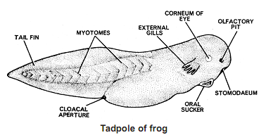 1437_tadpole of frog.png
