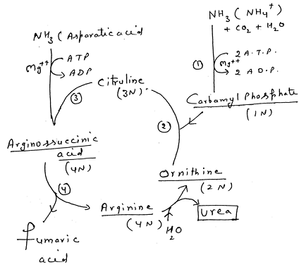 1438_formation of urea1.png