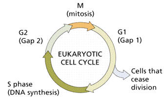1457_cell cycle.png
