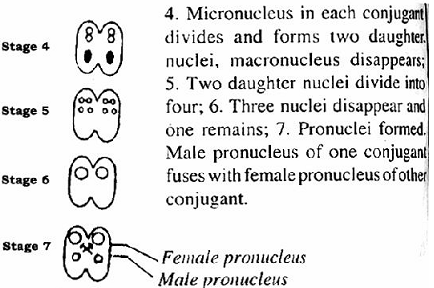 1601_Formation of pronuclei.png