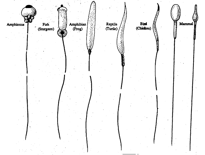 1655_Structure of the Sperm.png