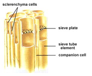 1689_companion cells.png