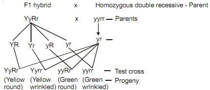 1691_dihybrid test cross.png