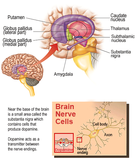 Anatomy Of The Basal Ganglia Neuroscience Assignment Help