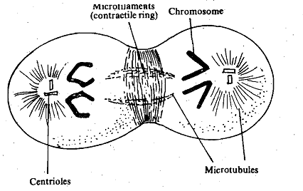 1744_Cytosketal Mechanism.png