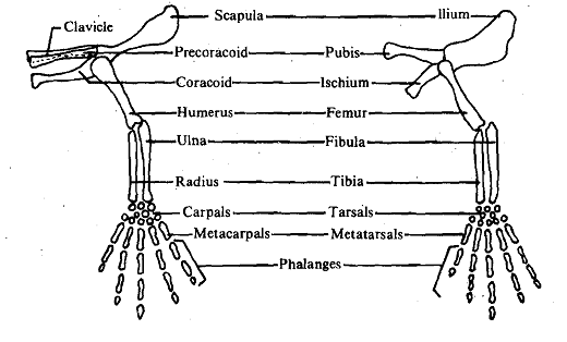 1772_Basic structural pattern of limbs.png