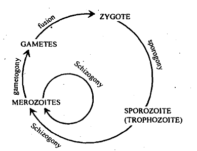 1788_Life cycle of sporozoans.png