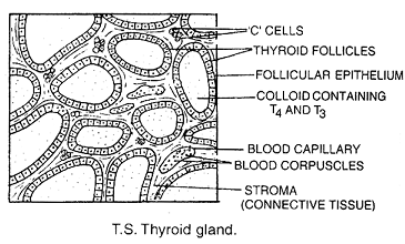 1812_thyroid gland.png