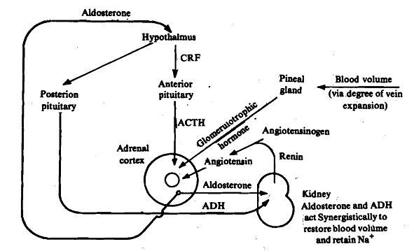 1905_Angiotensin - Vertebrates.png