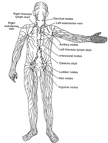 1959_lymphatic system.png