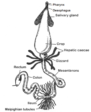 1982_digestive system of cockroach.png