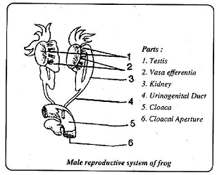 2053_male reproductive system of frog.png