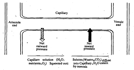 2056_Composition of Capillaries.png