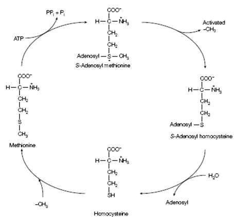 Activated Methyl Cycle, Urea Cycle, Assignment Help