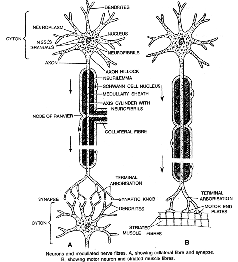 2126_structure of nerve fibre or neuron.png