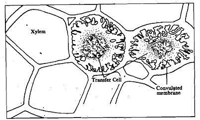 2192_Xylem transfer cells.png