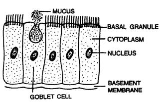 2216_simple columnar epithelium1.png