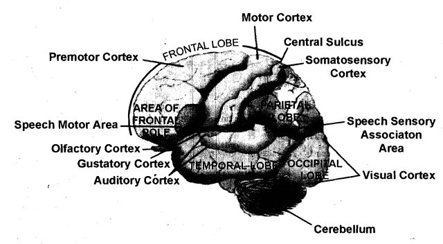 2265_Define the Pre Motor Areas of the Cerebrum.png