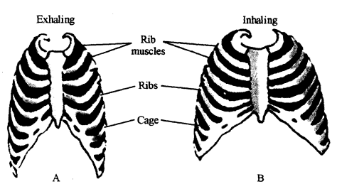2339_The intercostal muscles.png