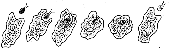 2387_Nutrition occurs in Protozoans.png