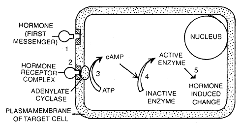2400_molecular mechanism of hormone action.png