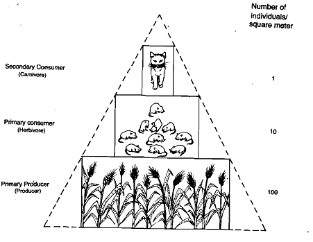 2405_Pyramid of Numbers - Ecological Pyramids.png