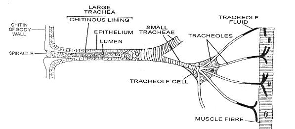 2407_respiration system of cockroach2.png
