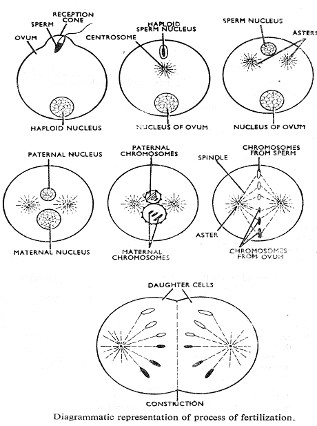 2450_mechanism of fertilization.png