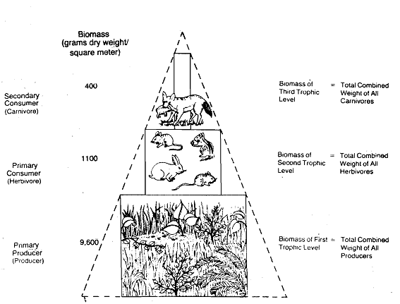 2452_Pyramid of Biomass - Ecological Pyramids.png