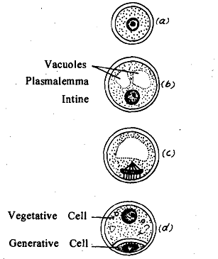 260_Formation of Vegetative and Generative Cells.png