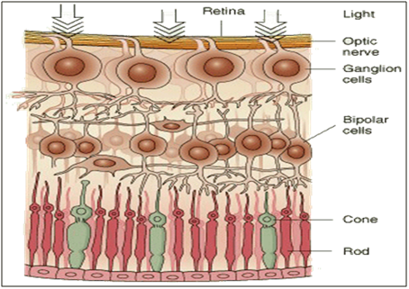 269_The retina – the light detector of the eye 3.png