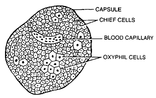269_parathyroid gland.png