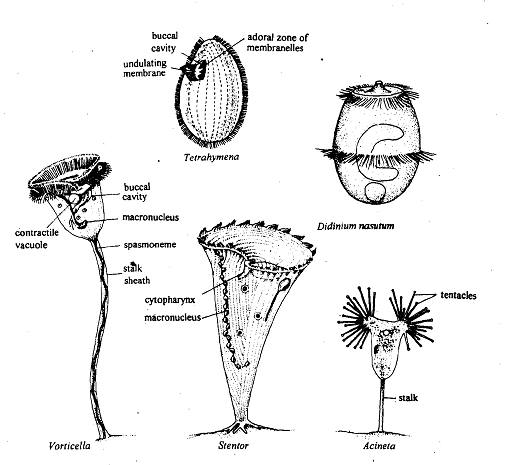 317_Ciliated Protozoan.png