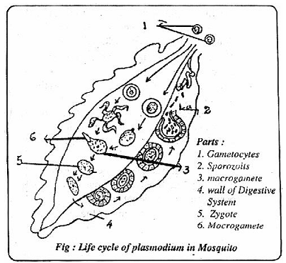 354_life cycle of malarial parasite.png