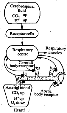 356_Action of carbon dioxide receptor cells.png