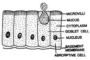 377_simple columnar epithelium.png